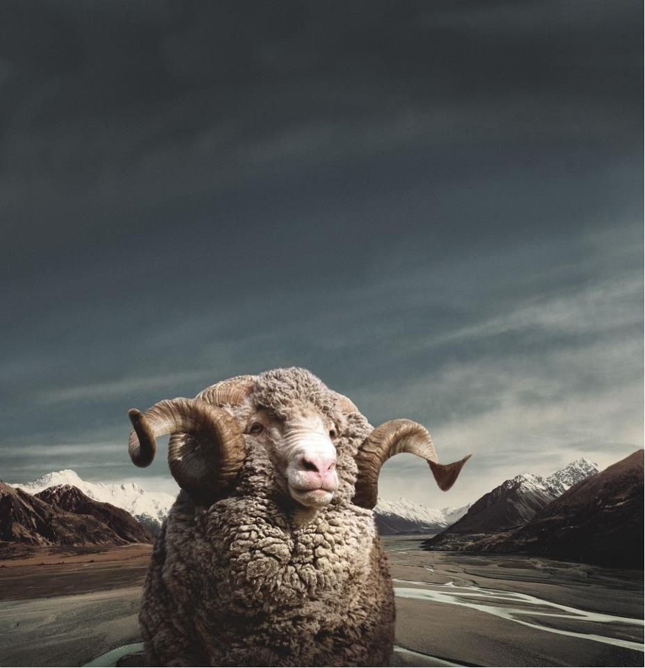 Merino Sheep Squadratlantica